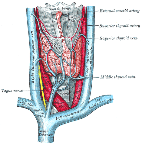 Anatomy Of The Thyroid Gland Lecturio Online Medical Library