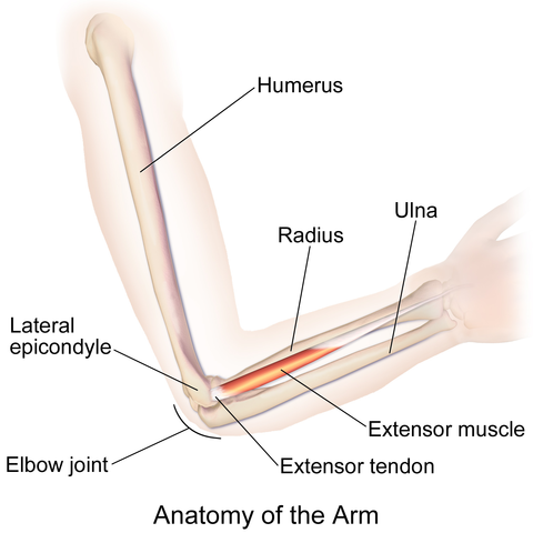Anatomy of the Arm | The Lecturio Online Medical Library