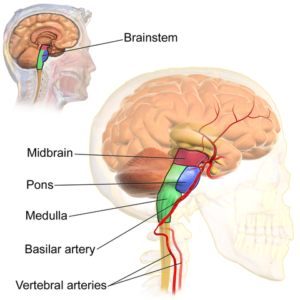 Brainstem-vertebral-artery