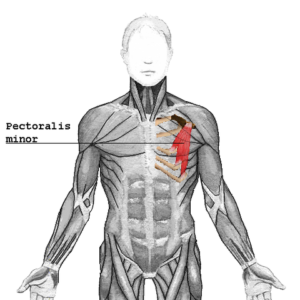 location of pectoralis minor