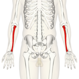 diagram identifying the ulna of both forearms