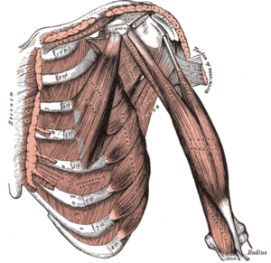 Deep front muscles of the arm