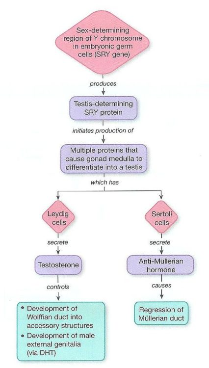 SRY-Gene-Pathway-gonadal-dysgenesis