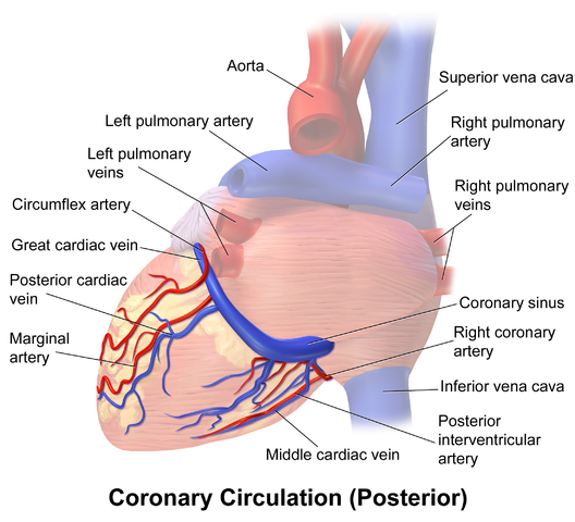 Special Circulations Of The Cardiovascular System Online Medical