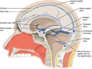 the dural sinuses of the brain
