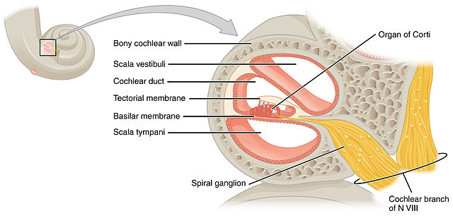 The cochlea is the sense organ