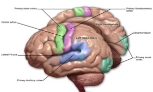 Brain Sensory & Motor