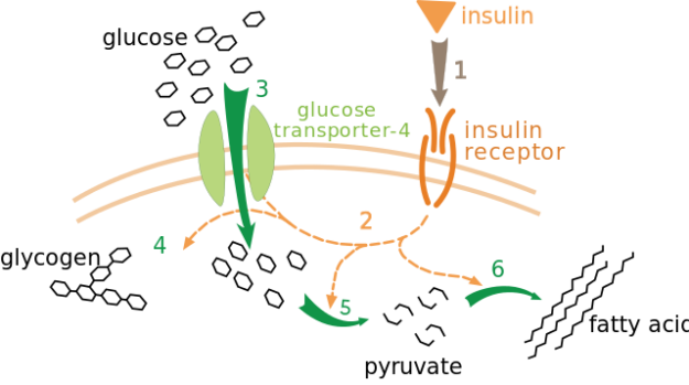Insulin-glucose metabolism