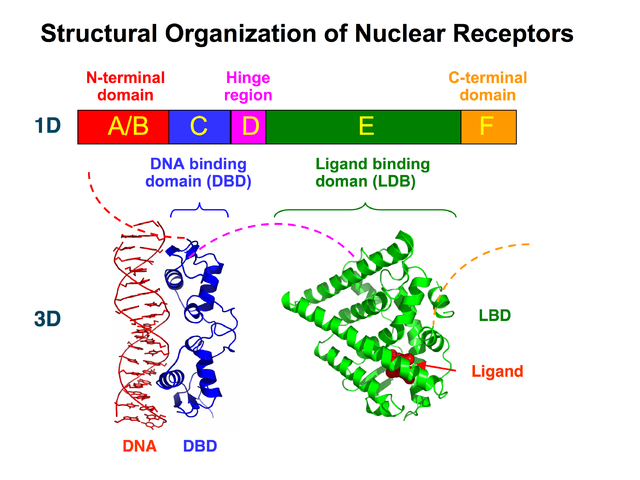 What happens when steroid hormones bind to their receptors el organon de hahnemann medical college