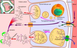 Thyroid-hormone-synthesis