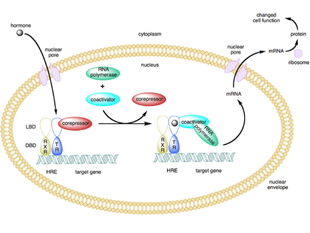 type 2 nuclear receptor action