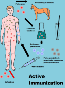 This sheme illustrates the process of active immunisation and depends on the original artwork of Invexis