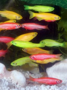 675px-GloFish