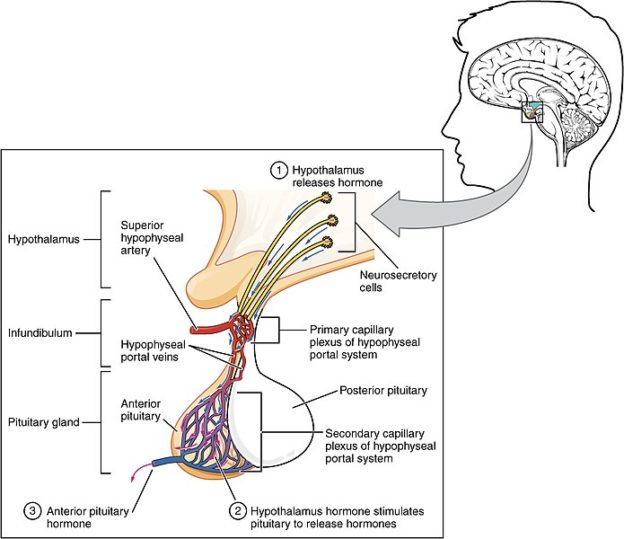 The_Anterior_Pituitary_Complex