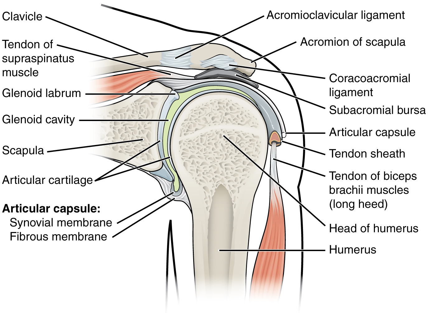 Shoulder Joint And Subacromial Joint Space Medical Library