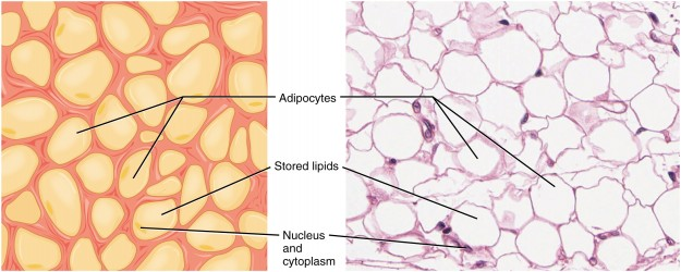 Adipose Tissue