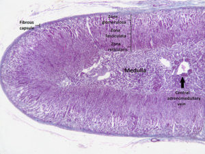 Adrenal-cortex-labelled