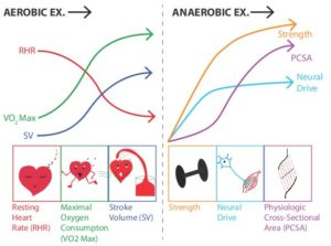 aerobic and anaerobic exercise adaptations