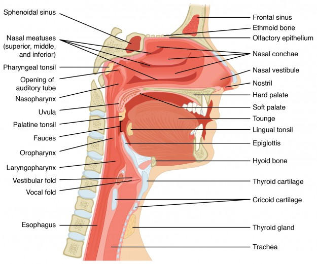 Anatomy of Nose, Pharynx, Mouth & Larynx