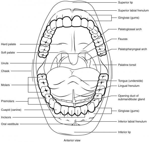 Anatomy of Oral Cavity Mouth (Labeled Diagram)