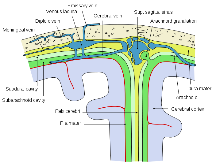 """Bild: """" Diagrammatic representation of a section across the top of the skull, showing the membranes of the brain"""" von Mysid. Lizenz: (CC0 1.0)"""