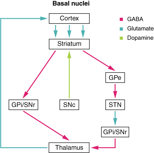 Basal nuclei connections