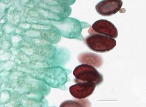 Basidomycetes