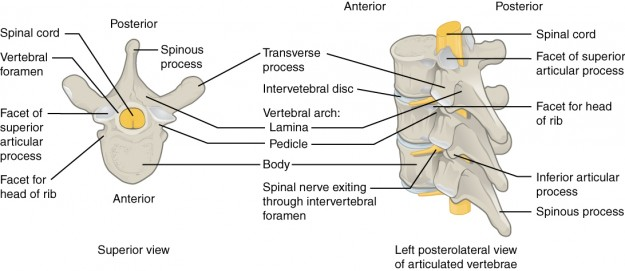 Parts of a Typical Vertebra