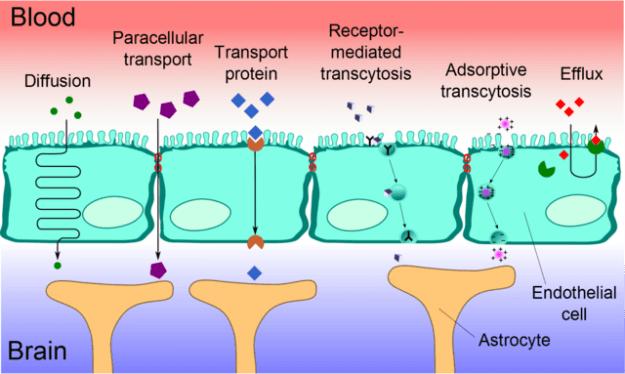 Blood-brain barrier transport