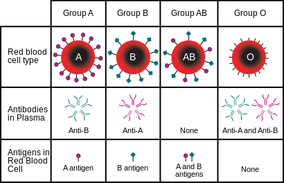 Blood type (or blood group) is determined, in part, by the ABO blood group antigens present on red blood cells.