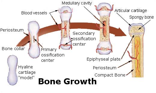 bone growth diagram