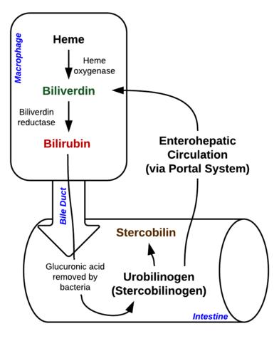 Breakdown of Heme in macrophages and intestine