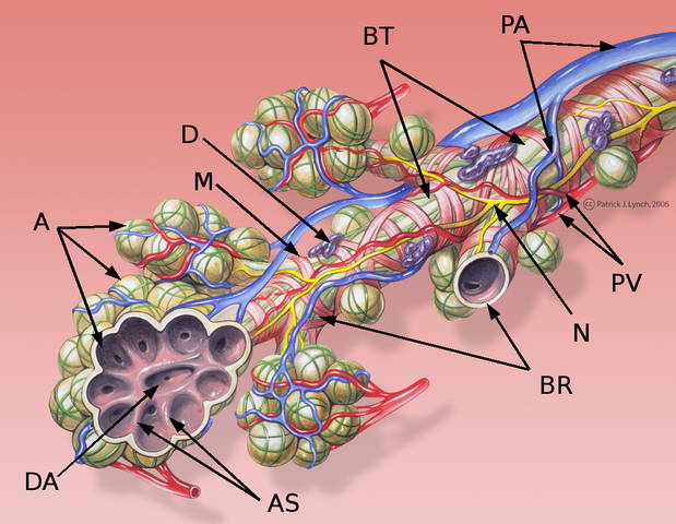 Bronchial anatomy detail of alveoli and lung circulation