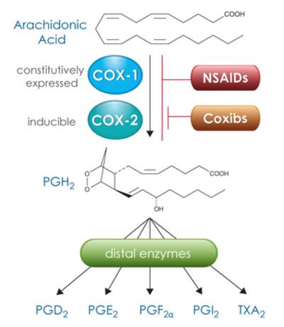 COX-1 and COX-2 convert arachidonic acid to the intermediate PGH2