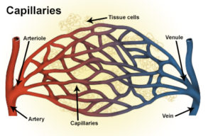 Illustration of blood vessels including artery, arteriole, capillaries, vein and venule.