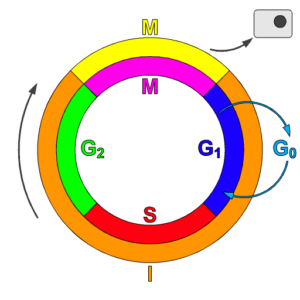 Cell-Cycle-checkpoints