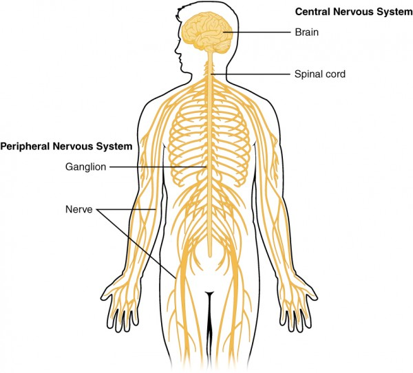 Nervous System: General Structure and Functions | Lecturio