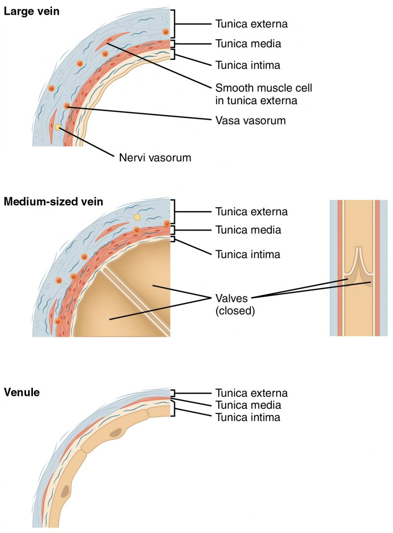 Diagram of Comparison of Veins and Venules