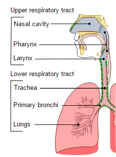 Conducting passages of the human respiratory system