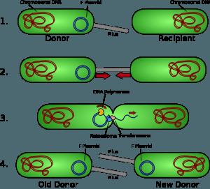 Das Schema zeigt bakterielle Konjugation