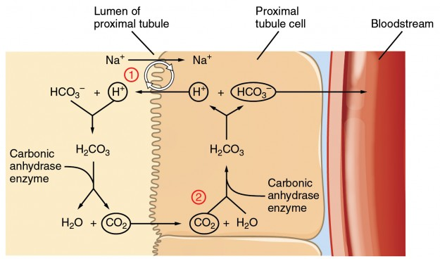 Conservation of Bicarbonate in the Kidney