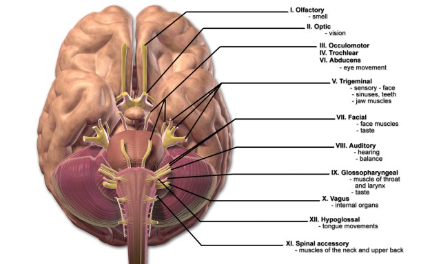 Cranial Nerves Labeled Diagram