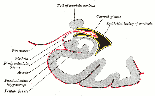 """Bild: """" Coronal section of inferior horn of lateral ventricle"""" von Henry Gray. Lizenz: (CC0 1.0)"""