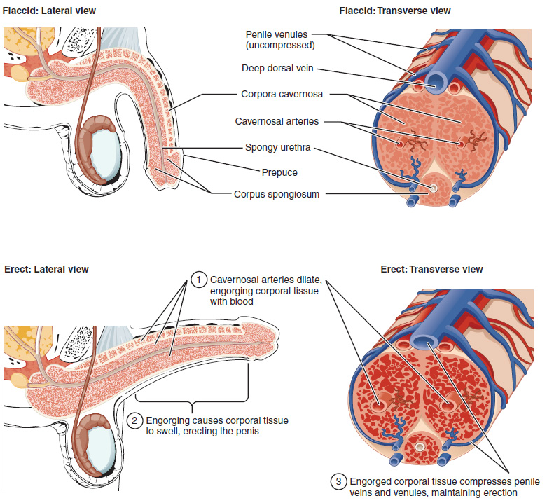 Cross-Sectional Anatomy of the Penis