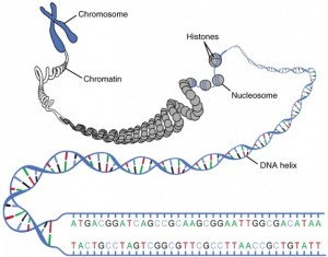 DNA Macrostructure