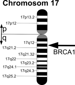 Representation of the BRCA1 gene on chromosome 17