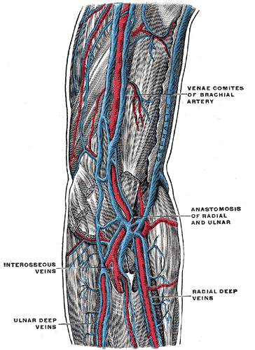 Deep Veins of the Arm