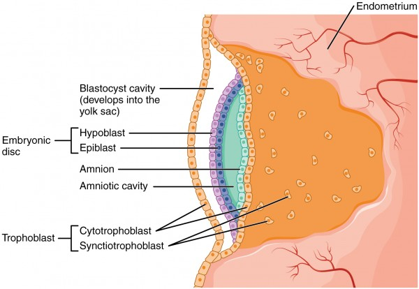 Development of the Embryonic Disc