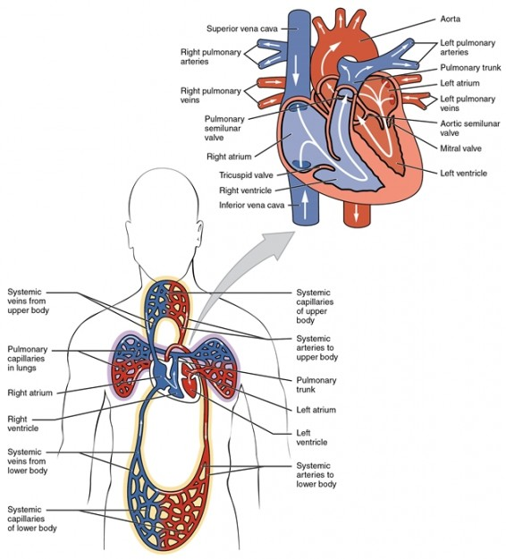 Dual System of the Human Blood Circulation