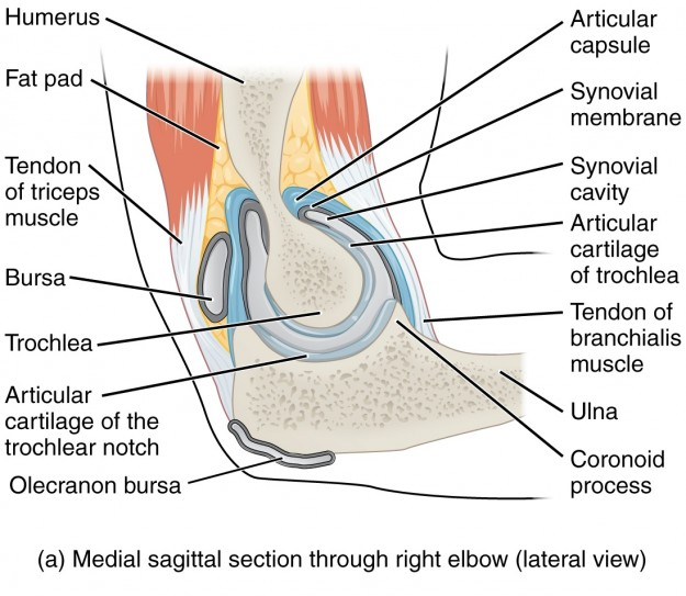 Elbow Joint Anatomy Of The Upper Extremity Lecturio